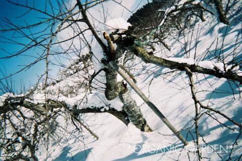 雪の中の有機りんご農園(青森県)